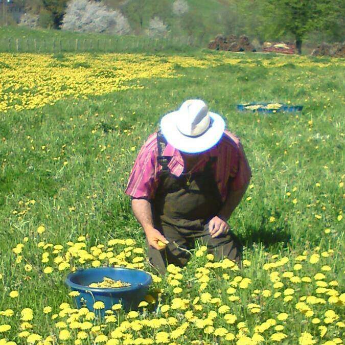 Dandelion picking in Curemonte